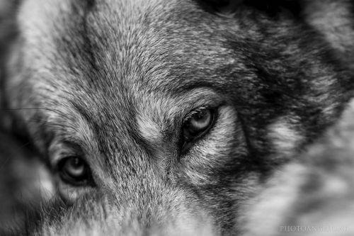 Bild - Wolf